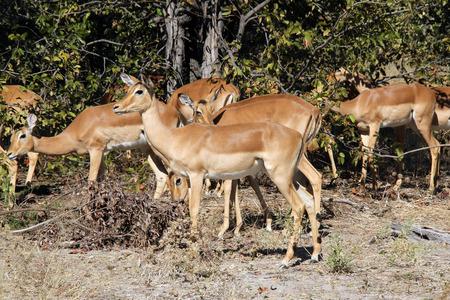 ungulate: Group of Impalas. Moremi Game Reserve, Botswana
