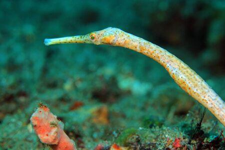 muck: Pipefish at Padang Bai, Bali, Indonesia Stock Photo
