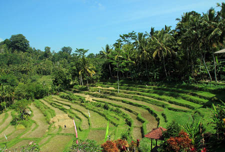 rice terraces: Rice Terraces of Bali, Indonesia Stock Photo
