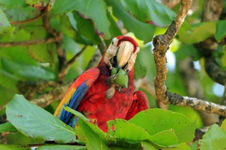 guacamaya: Guacamaya roja Ara macao comer una fruta. San Pedriollo, Corcovado, Costa Rica
