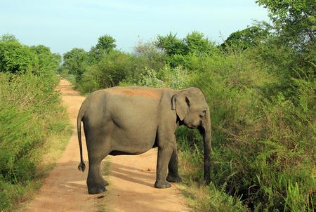 hinder: Lankesian Elephant Elephas Maximus Maximus Blocking the Road. Uda Walawe National Park, Sri Lanka Stock Photo