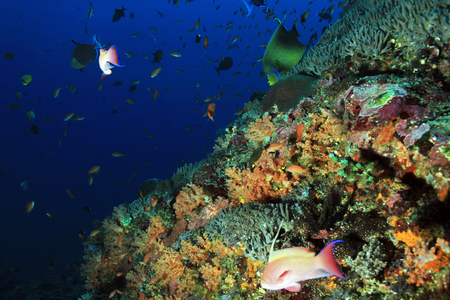 nusa: Colorful Coral Reef at Crystal Bay, Nusa Penida. Bali, Indonesia