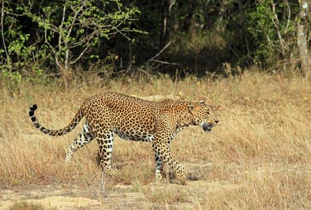 Sri Lankan Leopard Panthera Pardus Kotiya Walking in Grass, Yala, Sri Lanka Stock Photo