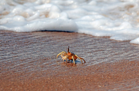 safari game drive: Tiny Crab on the Beach, Just About to get hit by a Wave, Yala, Sri Lanka Stock Photo