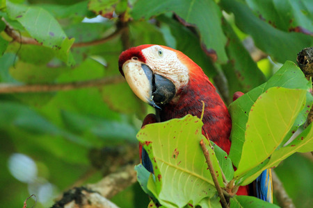 Scarlet Ara Ara Macao unter Blättern. San Pedrillo, Corcovado, Costa Rica Standard-Bild - 55110309