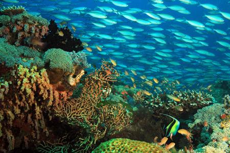 Scholing Fusiliers over een kleurrijke Coral Reef. Gam, Raja Ampat, Indonesië Stockfoto