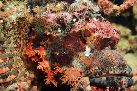 scorpionfish: Close-up of a Bearded Scorpionfish (Scorpaenopsis Barbata). Mansuar, Raja Ampat, Indonesia