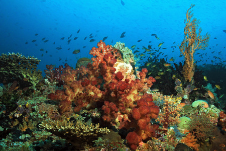 hard coral: Colorful Coral Reef against Blue Water. Dampier Strait, Raja Ampat, Indonesia