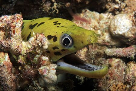 moray: Close-up of a Fimbriated Moray (Gymnothorax Fimbriatus, aka Darkspotted Moray, Spot-face Moray) with Open Mouth. Mansuar, Raja Ampat, Indonesia