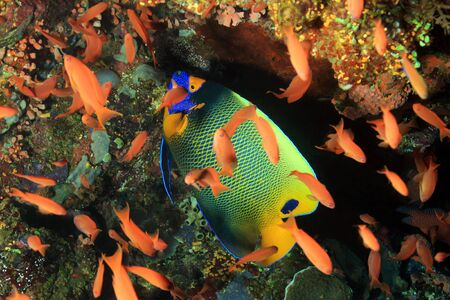 pomacanthus: Blueface Angelfish (Pomacanthus Xanthometopon) in a School of Anthias. Komodo, Indoensia