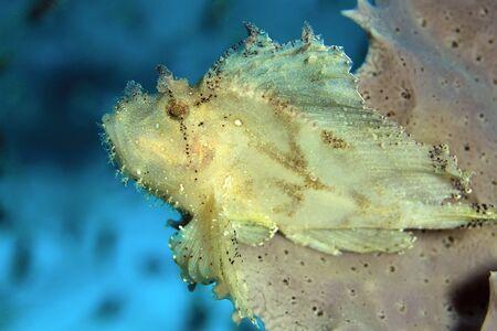 scorpionfish: Leaf Scorpionfish (Taenianotus Triacanthus, aka Leaf Fish, Paperfish) on a Coral. Flores, Indonesia