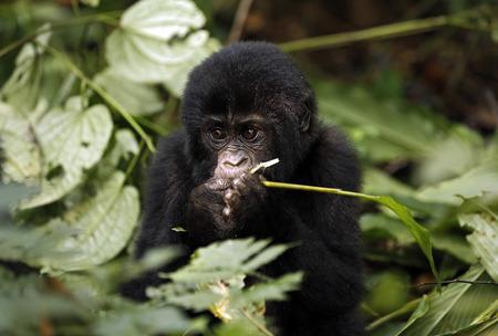 impenetrable: Baby Gorilla (Gorilla beringei beringei) Feeding. Bwindi Impenetrable National Park, Uganda
