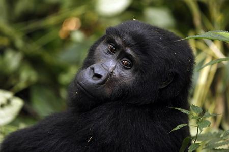 impenetrable: Mountain Gorilla (Gorilla beringei beringei) in Bwindi Impenetrable National Park, Uganda Stock Photo