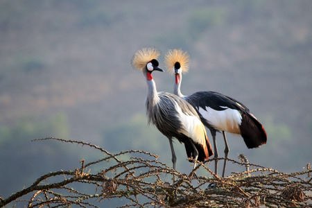 Grey Crowned Crane (Balearica Regulorum) Couple on Tree Top. Lake Mburo, Uganda