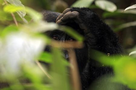 impenetrable: Eye Contact with a Mountain Gorilla (Gorilla beringei beringei) through the Foliage. Bwindi Impenetrable National Park, Uganda