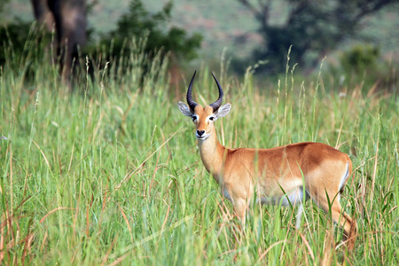 game drive: Ugandan Kob (Kobus kob thomasi) in High Grass. Ishasha, Queen Elisabeth, Uganda