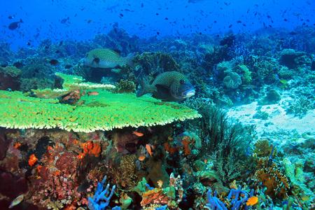 インドネシア ・ コモドの原始的なカラフルなサンゴ礁