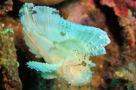 scorpionfish: Leaf Scorpionfish (Taenianotus Triacanthus, aka Leaf Fish, Paperfish). Flores, Indonesia