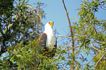uganda: African Fish Eagle (Haliaeetus vocifer) in a Tree. Lake Mburo, Uganda