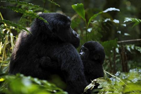 animales safari: Gorila con el bebé en el Parque Nacional de Bwindi, Uganda Foto de archivo