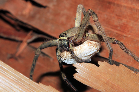 critter: Spider Carrying an Egg Sack. Kampung Mabul, West Papua, Indonesia Stock Photo
