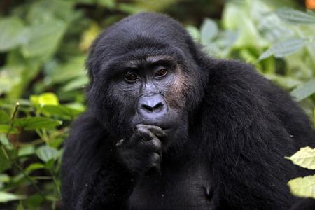 Mountain Gorilla in Bwindi Impenetrable National Park, Uganda Stock Photo