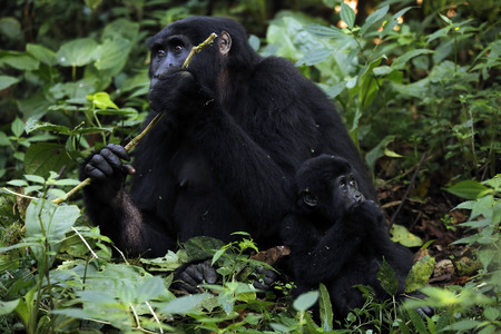 Mother and Baby of Mountain Gorilla. Bwindi Impenetrable National Park, Uganda