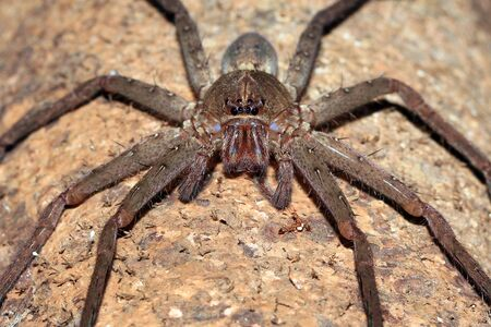 critter: Spider Front Picture. Forest in West Papua, Indonesia
