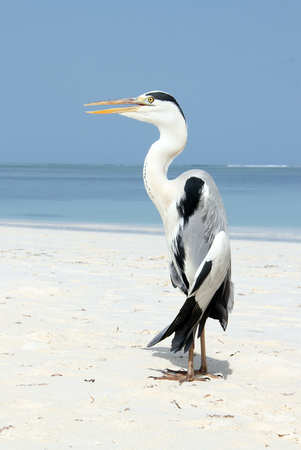 atoll: Gray Heron (Ardea Cinerea) on the Beach. Bodufinolhu, South Male Atoll, Maldives