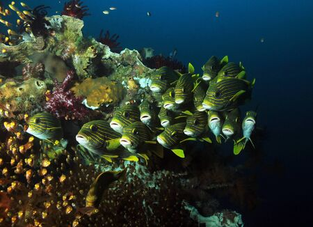 sweetlips: Schooling Glassfish and Ribboned Sweetlips at a Colorful Coral Reef. Raja Ampat, Indonesia