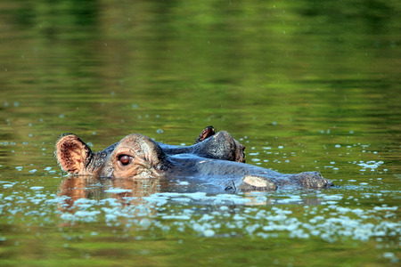 Hippopotamus in the Water, looking over the Surface. Lake Mburo, Uganda