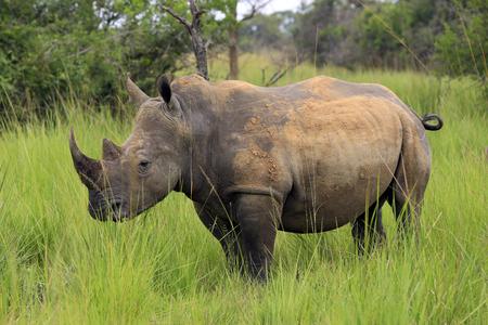 シロサイ。サイ Ziwa サイ保護区、ウガンダでのトレッキング 写真素材 - 87739783