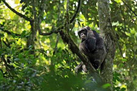troglodytes: Common Chimpanzee (Pan troglodytes), in a Tree. Kibale Forest, Uganda