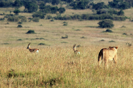 the national flag of kenya: Leona que caza dos Gazelles de Thomsons. Maasai Mara, Kenia