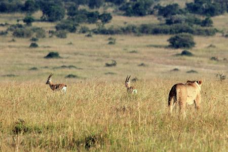 Lioness Hunting two Thomsons Gazelles. Maasai Mara, Kenya