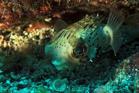 blotched: Long-Spine Porcupinefish (Diodon Holacanthus â?? aka Longspined Porcupinefish, Freckled Porcupinefish). Coiba, Panama