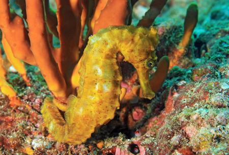 Yellow Pacific Seahorse (Hippocampus ingens). Coiba, Panama Reklamní fotografie