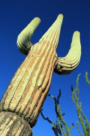 Saguaro Cactus (Carnegiea Gigantea) in Saguaro National Park, Tucson. Arizona, United States