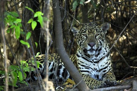 Jaguar Lying on the Ground, Looking into the Camera. Pantanal, Brazil Stock Photo