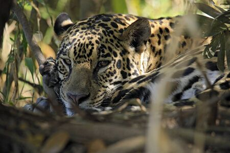 Jaguar Lying on the Ground, Looking into the Camera. Pantanal, Brazil Stock Photo