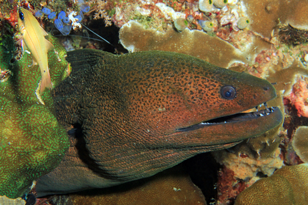 Giant Moray Eel (Gymnothorax javanicus). Raja Ampat, Indonesia Stock Photo