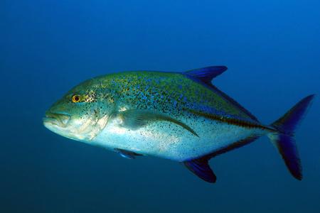 Bluefin Trevally (Caranx melampygus, aka Bluefin Jack). Coiba, Panama