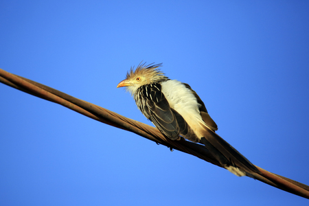 Guira Cuckoo (Guira guira) on Wire, against Blue Sky. Porto Jofre, Pantanal