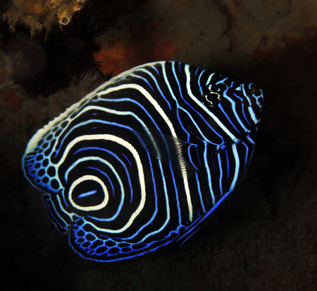 Juvenile Emperor Angelfish (Pomacanthus imperator). Tofo, Mozambique