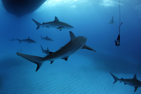 Eight Caribbean Reef Sharks (Carcharhinus perezi) During Safety Stop. Tiger Beach, Bahamas