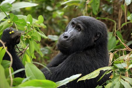 Mountain Gorilla (Gorilla beringei beringei) in Bwindi Impenetrable National Park, Uganda Archivio Fotografico