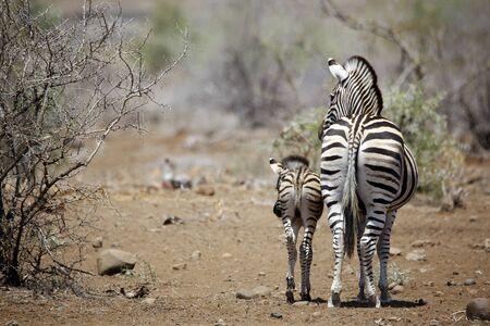 Burchells Zebra (Equus burchelli) with Foal. Timbavati, Kruger Park, South Africa Stock Photo