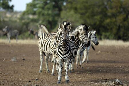 Group of Burchells Zebras (Equus burchelli. Satara, Kruger Park, South Africa