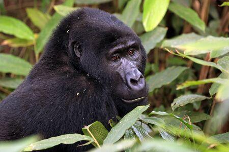 Gorille de montagne (Gorilla beringei beringei) dans le parc national impénétrable de Bwindi, Ouganda