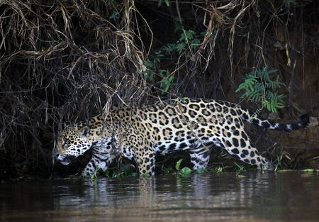 Jaguar Walking in Water along the River Bank, Searching for Caimans. Pantanal, Brazil